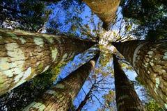 Árvore de bordo taiwanesa Foto de Stock