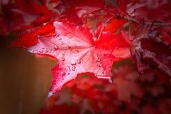 A árvore de bordo vermelha da queda sae do fundo imagens de stock royalty free