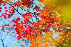 Árvore de bordo vermelho fotos de stock royalty free