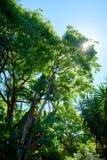 A árvore de brilho do sol, com o céu azul claro no fundo imagens de stock royalty free