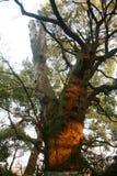 Árvore de cânfora Fotos de Stock