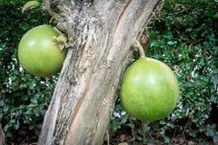 Árvore de cabaceiro Imagens de Stock Royalty Free
