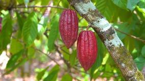 Árvore de cacau com escuro bonito - fruto vermelho das vagens, o fresco, o orgânico e o saudável do cacau em 4k ilustração stock