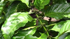 Árvore de café vídeos de arquivo