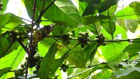 Árvore de café video estoque