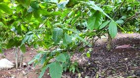 Árvore de café filme