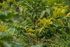 Árvore de café, árvore de café do país de Tailândia fotos de stock