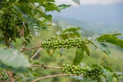 Árvore de café, árvore de café do país de Tailândia fotografia de stock