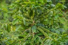 Árvore de café, árvore de café do país de Tailândia foto de stock