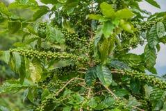 Árvore de café, árvore de café do país de Tailândia imagens de stock royalty free