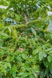 Árvore de café, árvore de café do país de Tailândia imagem de stock