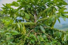 Árvore de café, árvore de café do país de Tailândia foto de stock royalty free