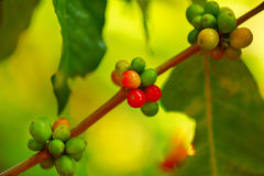 Árvore de café na exploração agrícola Imagem de Stock Royalty Free