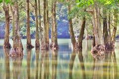 Árvore de Cajeput Fotografia de Stock Royalty Free