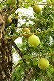Árvore de Calabash. fotografia de stock royalty free