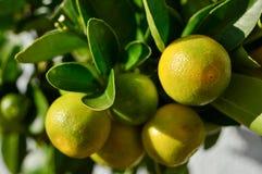 Árvore de Calamondin do citrino fotos de stock royalty free