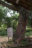 A árvore de Camboja inoperante fotografia de stock royalty free