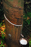 Árvore de Caoutchouc Fotos de Stock Royalty Free