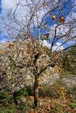 Árvore de caqui Foto de Stock