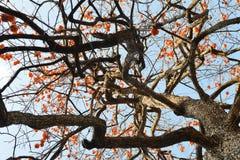 Árvore de caqui colorida no céu azul Fotografia de Stock Royalty Free