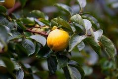 Árvore de caqui com frutos Fotos de Stock Royalty Free