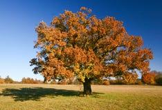 Árvore de carvalho Imagens de Stock Royalty Free