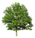 Árvore de carvalho Imagem de Stock Royalty Free