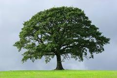 A árvore de carvalho Foto de Stock Royalty Free