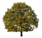Árvore de carvalho Fotografia de Stock
