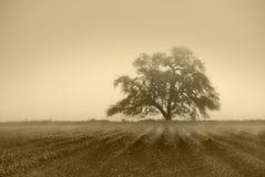 Árvore de carvalho abafada foto de stock