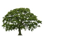 Árvore de carvalho abstrata do verão Fotos de Stock Royalty Free