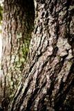 Árvore de carvalho da casca Imagem de Stock Royalty Free