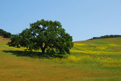 Árvore de carvalho da mola em um campo Imagens de Stock Royalty Free