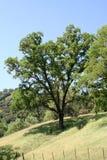 Árvore de carvalho de Califórnia Imagens de Stock