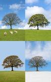 Árvore de carvalho em quatro estações Imagem de Stock