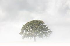 Árvore de carvalho em um dia nevoento fotos de stock royalty free
