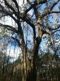 Árvore de carvalho grande Fotos de Stock Royalty Free