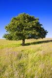 Árvore de carvalho inglesa Foto de Stock
