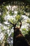 Árvore de carvalho muito velha imagem de stock