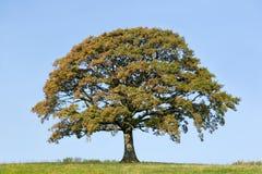 Árvore de carvalho no outono adiantado Imagens de Stock