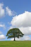 A árvore de carvalho no verão Fotos de Stock Royalty Free