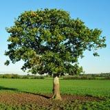 Árvore de carvalho nova Foto de Stock Royalty Free
