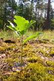 Árvore de carvalho nova fotos de stock royalty free