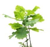 Árvore de carvalho pequena Fotografia de Stock