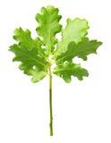 Árvore de carvalho pequena Fotos de Stock Royalty Free