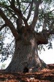 Árvore de carvalho poderosa Imagens de Stock Royalty Free