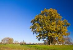 Árvore de carvalho só no outono imagens de stock