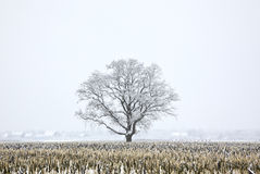 Árvore de carvalho Snow-covered no campo Foto de Stock Royalty Free