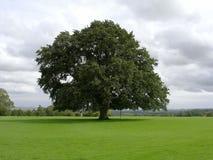 Árvore de carvalho velha Fotografia de Stock Royalty Free