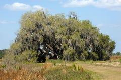 A árvore de carvalho verde americano grande drapejou no musgo, nuvem do St, Florida Imagens de Stock Royalty Free